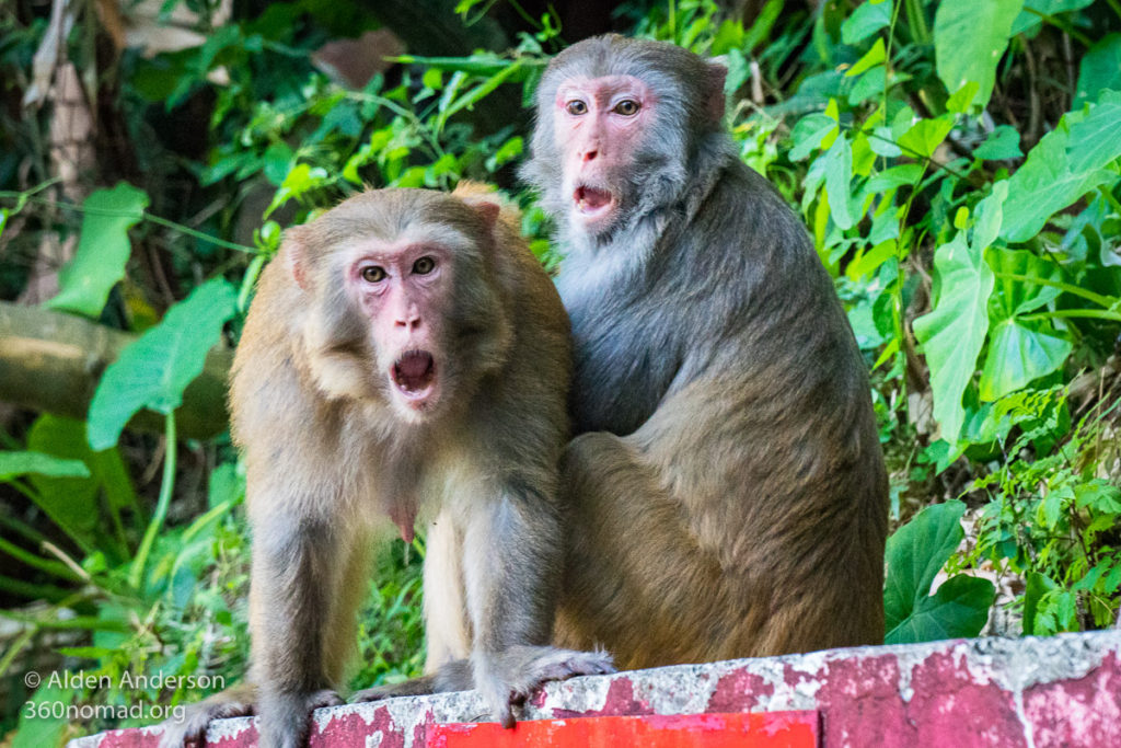 Macaques at the 10,000 Buddhas Monastery