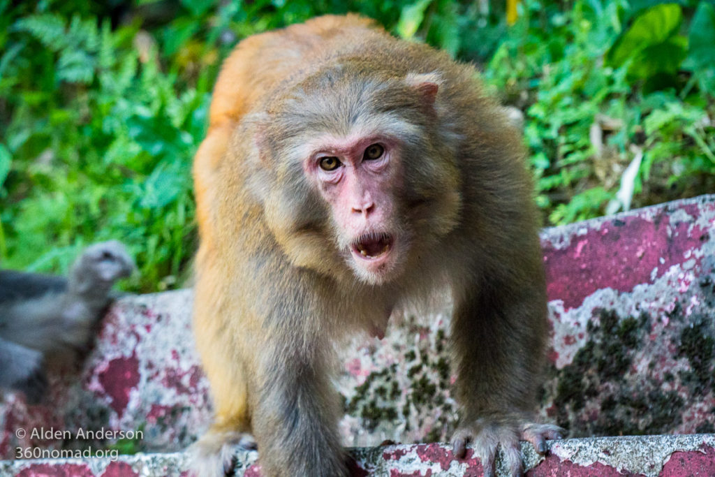 Big monkey. 10,000 Buddhas Monastery