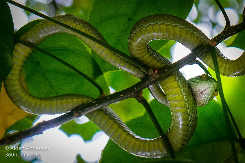 Gumprecht's Green Pit Viper