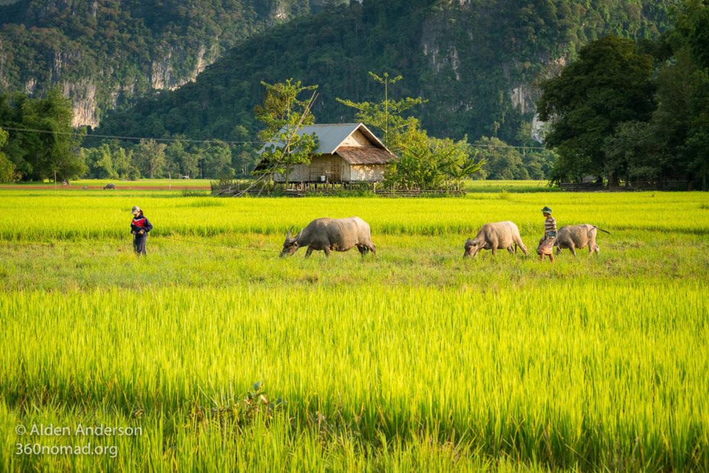 Kong Lor Village Water Buffalo