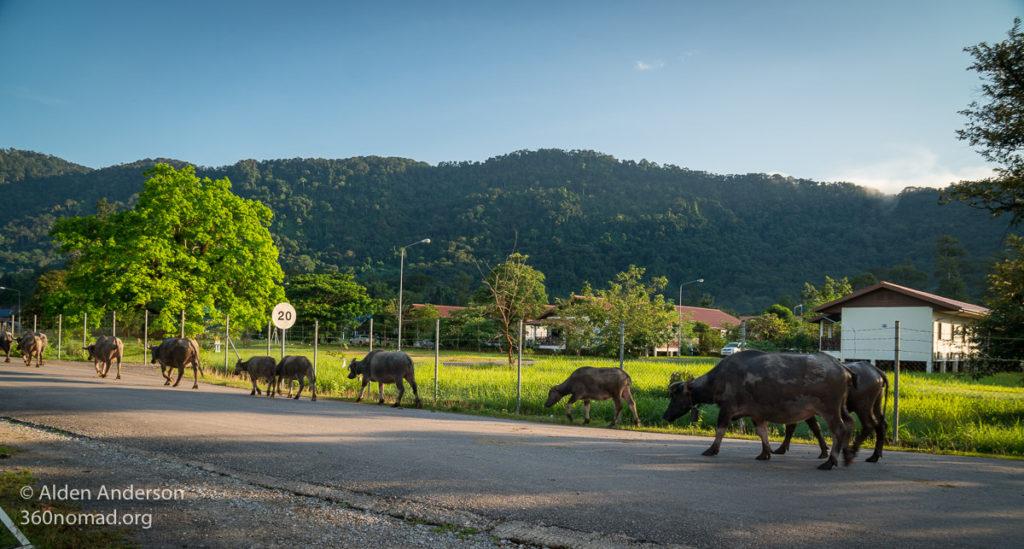 Water Buffalo in Ban Nahin