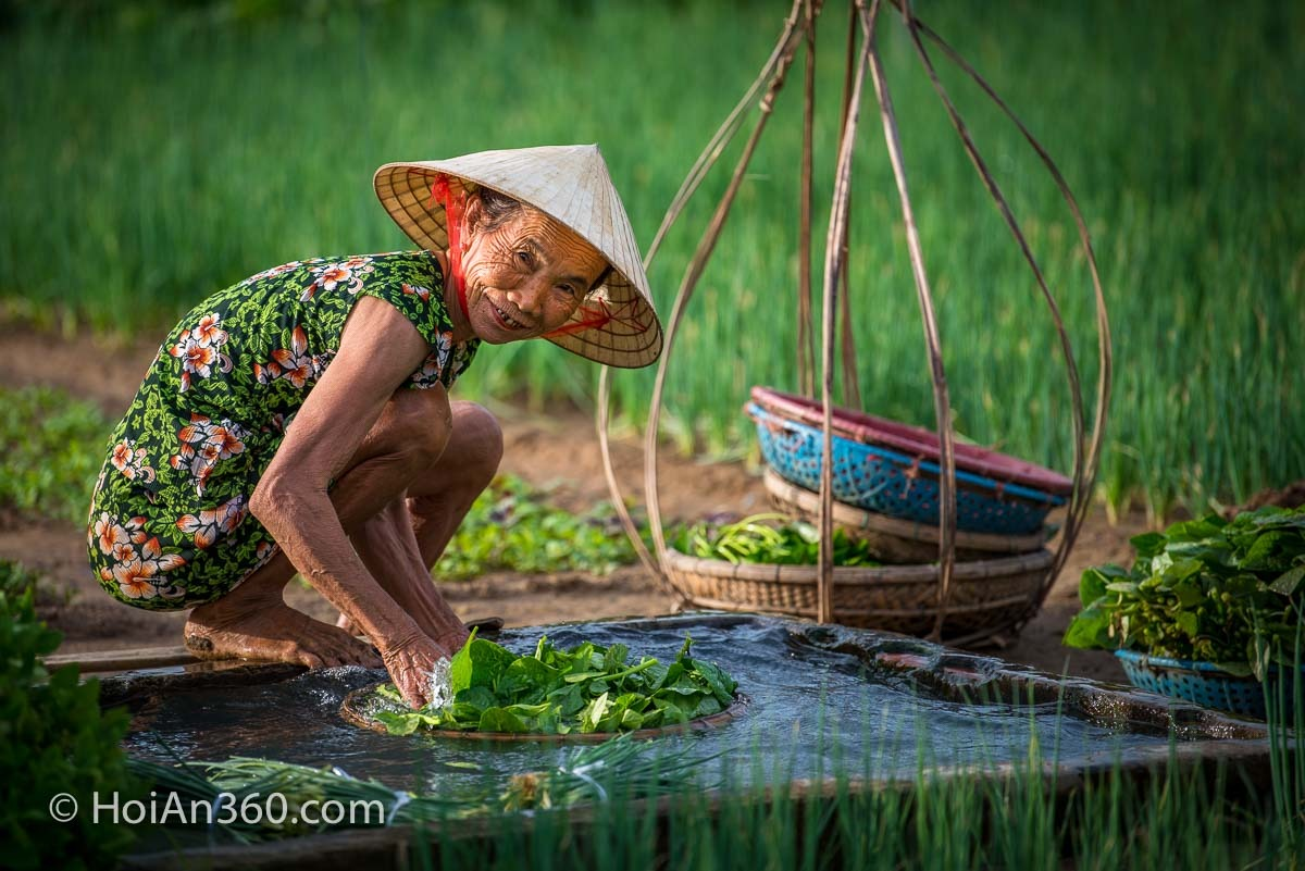 Woman harvesting, Hoi An Countryside