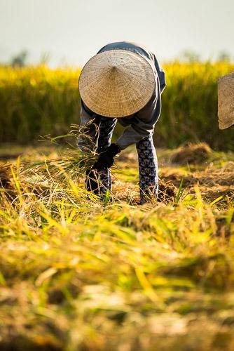 Hoi An Rice Harvest